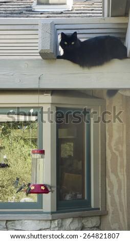 Black cat named Bliss hovering over hummingbirds in Oak View, California - stock photo