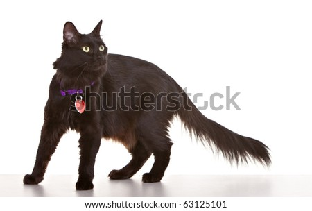 Black cat on white background wearing collar and tag - stock photo
