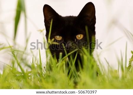Black Cat peaking through grass. - stock photo