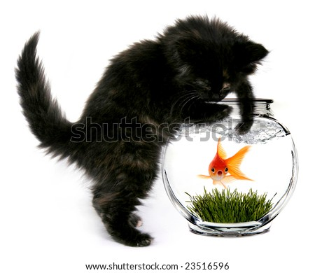 Black Cat Reaching Into Fishbowl With a Shocked Scared Goldfish Inside - stock photo