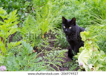 Black cat sitting in vegetable garden - stock photo