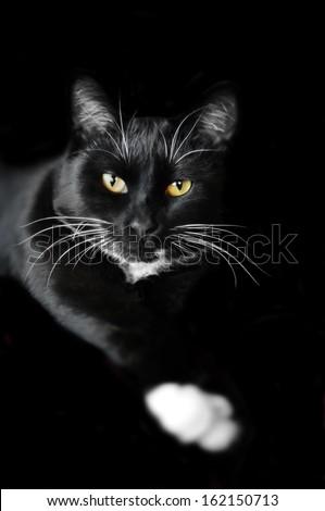 Black cat, white whiskers - stock photo