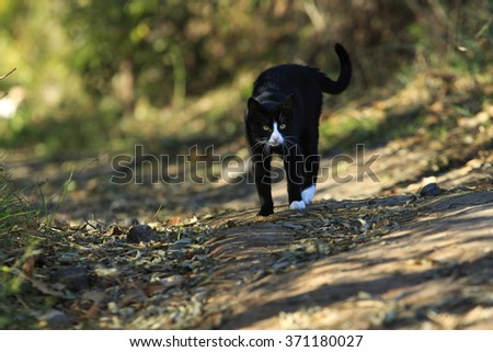 black cat with white spots stands in in a wary pose scared and ready to attack in autumn park - stock photo