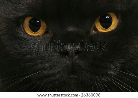 Black cat with yellow eyes - stock photo