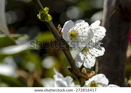 Black cherry blossoms in bloom on tree backlit by morning sun - stock photo