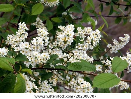 black cherry tree in blossom - stock photo