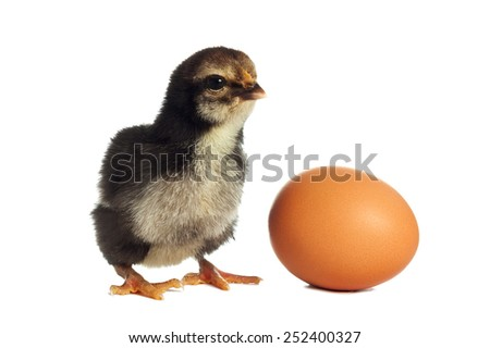 Black chick with egg - stock photo