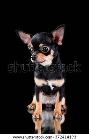 black chihuahua puppy on a black background - stock photo