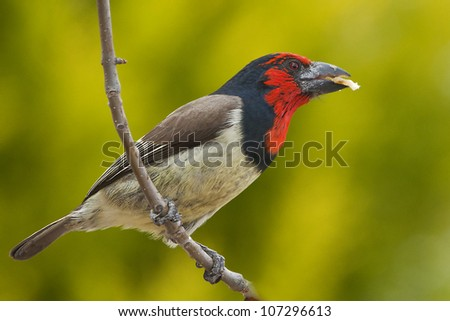 Black-collared Barbet (Lybius torquatus) ~ South Africa - stock photo