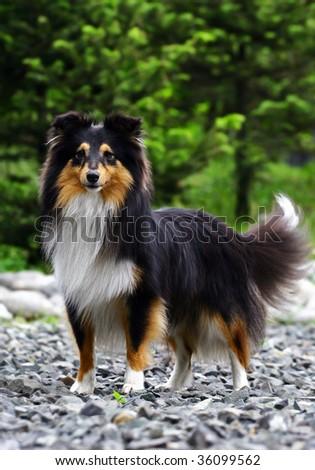 Black collie dog - stock photo