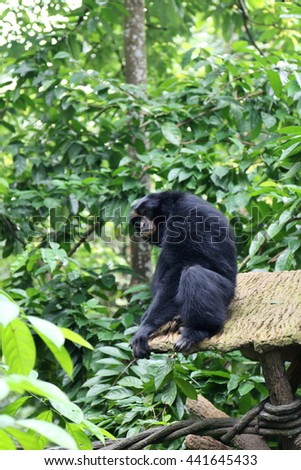 Black colored Siamang, also known as lesser ape, a special species which only exists in South East Asia - stock photo
