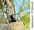 black cormorant on the nest(phalacrocorax carbo) - stock photo