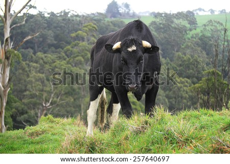 Black cow in the field - stock photo