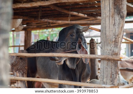 Black cow in the pen. Focus selection - stock photo