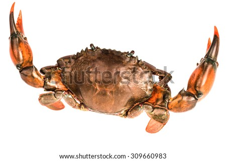 black crab    on white background - stock photo