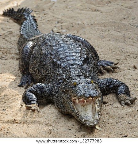 black crocodiles portrait - stock photo