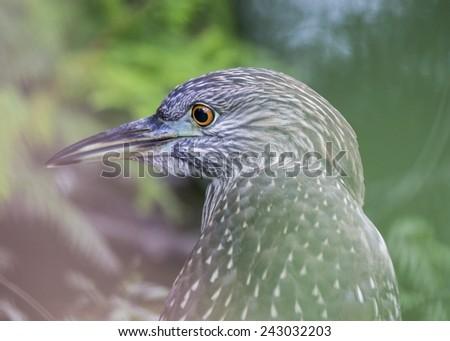 Black-Crowned Night-Heron (Juvenile) - stock photo