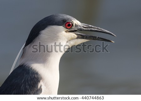 Black-crowned night heron (Nycticorax nycticorax) portrait, Galveston, Texas, USA - stock photo