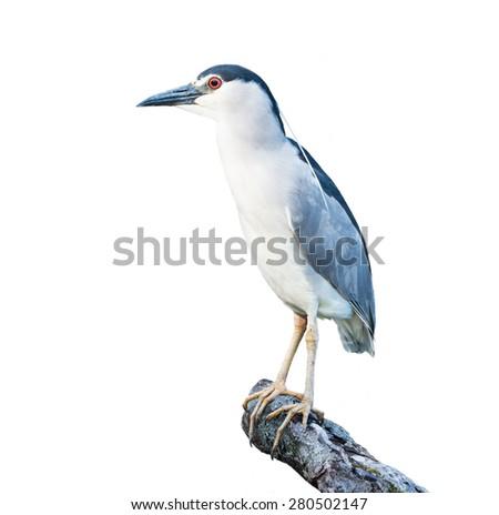 Black-crowned Night Heron on White Background - stock photo