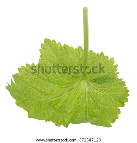 Black Currant Leaf on white background. Clipping path inside. - stock photo
