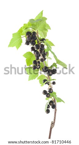 Black currants isolated on white background - stock photo