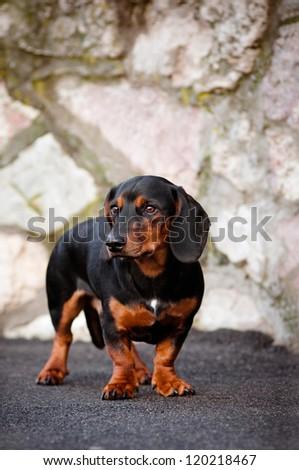 black dachshund dog portrait - stock photo