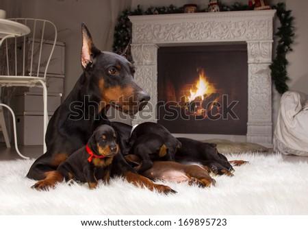 Black Doberman dog with puppies indoors - stock photo