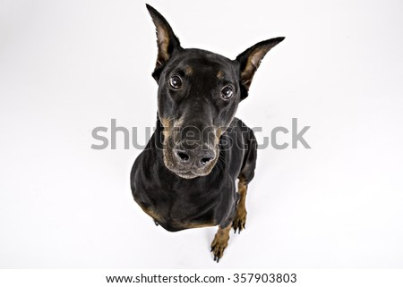 Black Doberman looking at the camera - stock photo