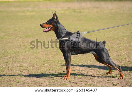 Black Doberman Pinscher with owner in dog school - stock photo