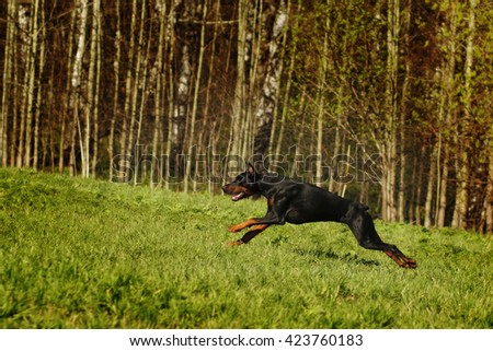 Black Doberman runs gallop on the hill, in pursuit of offender - stock photo