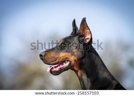 Black dobermann with crop ears - stock photo
