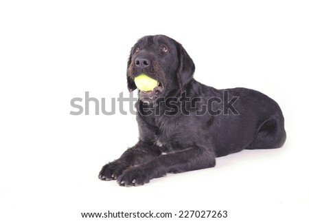 Black dog laying down with a ball in its mouth on a white background - stock photo