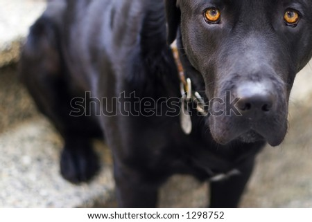 black dog on leash - stock photo