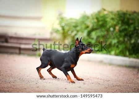 black dog pinscher in nature - stock photo