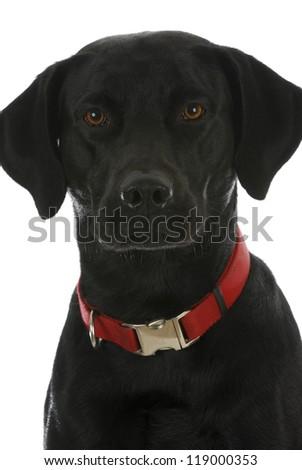 black dog portrait - labrador retriever cross - stock photo