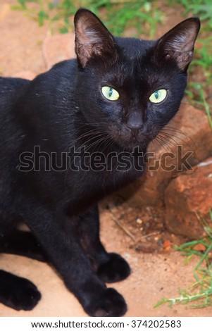 Black domestic cat (Felis catus) staring at you.  - stock photo