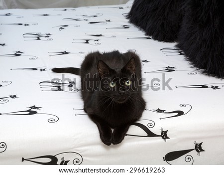 black domestic cat sitting on a bed. closeup. animal,  mammal