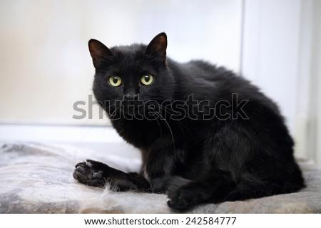 Black domestic cat. Small predator. Black kitty. Small cat. - stock photo