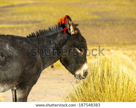 Black donkey with red tassels on his ears in sunny day of altiplano (Bolivia) - stock photo
