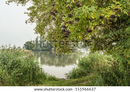 Black elderberries hanging at the branches of the Elder or Sambucus tree at the banks of a natural pond. - stock photo
