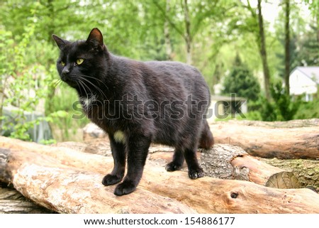black European Shorthair Cat - stock photo