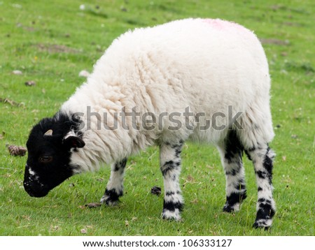 Black-faced young lamb - stock photo