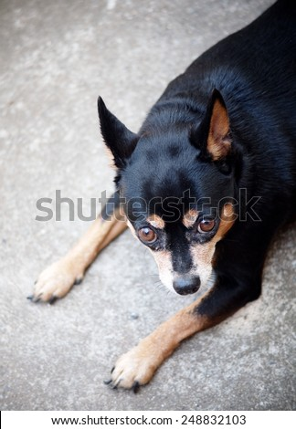 black fat lovely miniature pincher dog walking on the old gray concrete garage floor making funny face - stock photo