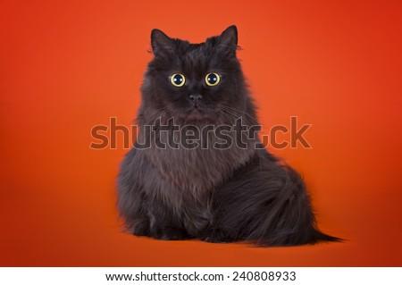 black fluffy cat isolated on orange background - stock photo