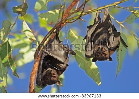 Black flying-foxes (Pteropus alecto) hanging in a tree, Kakadu National Park, Northern territory, Australia - stock photo