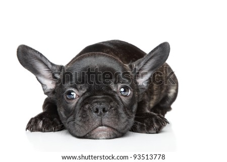 Black French bulldog puppy lies on a white background - stock photo