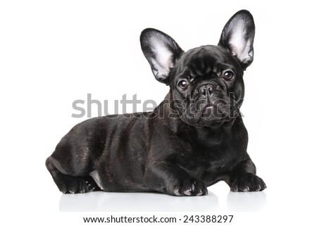 Black French bulldog puppy lying against white background - stock photo