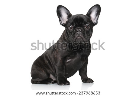 Black French bulldog puppy. Portrait on a white background - stock photo