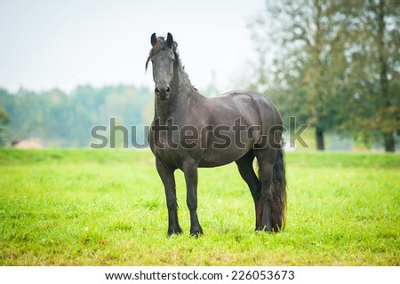 Black friesian horse standing on the pasture - stock photo