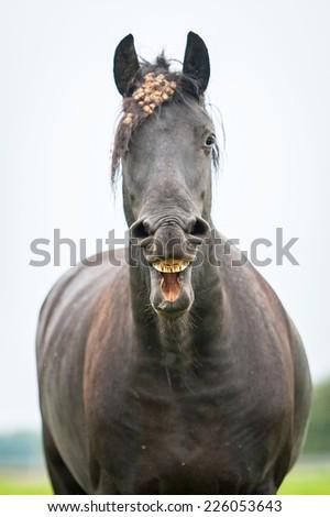 Black friesian horse yawning - stock photo